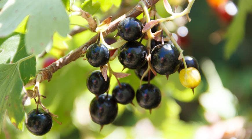 Самые полезные ягода: черная смородина